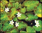 White Snowflake, Pond Plants Direct - Buy Aquatic Plants, Water Lilies, Aquatic Shelf Plants, Floating Plants, Flowering Pond Plants, Low Growing Pond Plants, Pickerel Plants, Rush Plants, Cattail, Pond Snails, Tadpoles, Koi Fish, Arrowhead, Iris, Water Hyacinth, Water Lettuce, Anacharis, Hornwort, Pond Supplies